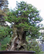 Bonsai, with Bob Shimon