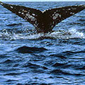 Gray whale flipping its flukes