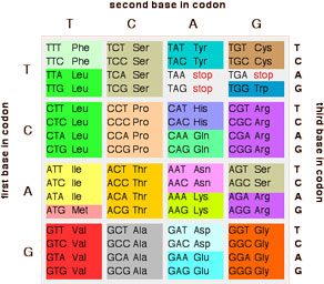 Order Of Amino Acids Using Three Letter Code