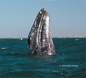 Gray whale, spyhopping